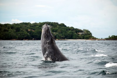 Whales make Panama their breeding grounds especially around the Pearl Islands